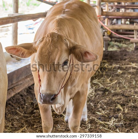 Cow in the cattle pen.
