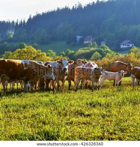 Cow in the field. Beautiful landscape in the mountains in summer. Czech Republic - the White Carpathians - Europe. - stock photo