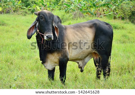 Cow in the field, Farm animal - stock photo