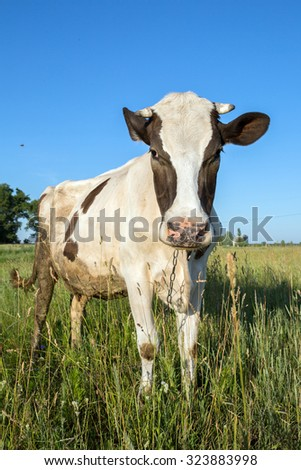 Cow in the grass against the sky