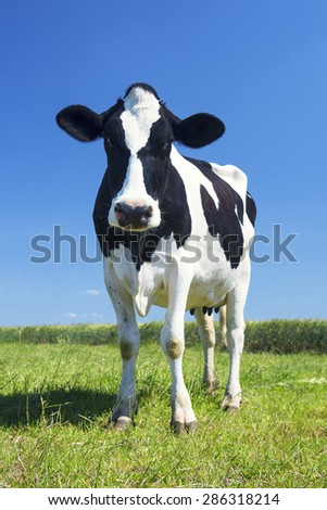 cow in the green grass and blue sky - stock photo