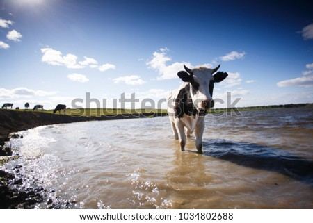 cow in the lake