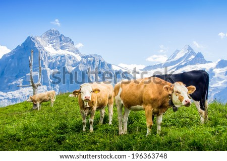 Cow in the meadow.In the background of the mountain in Swiss Alps - stock photo