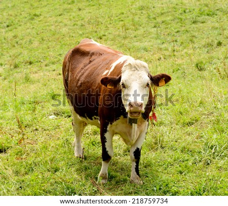 cow in the mountain pastures - stock photo
