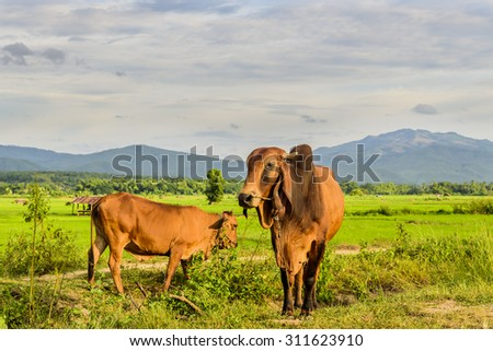 cow in the rice field at northern Thailand