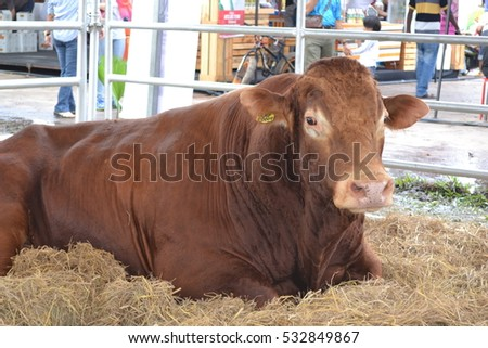Cow in the stall