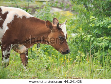 cow in the summer in the village