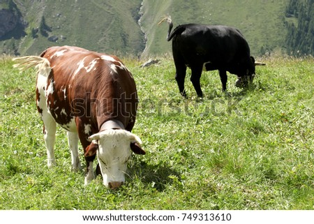 cow in traditional alpine husbandry