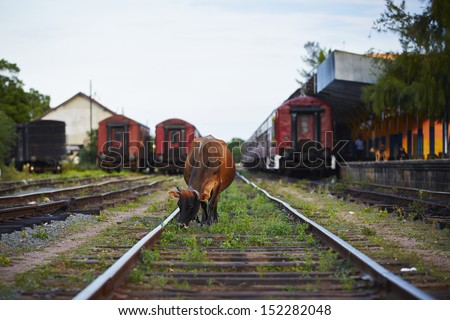 Cow in train station Trincomalee in Sri Lanka. - stock photo