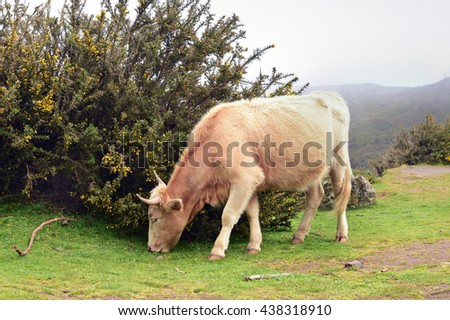 Cow is grazing in Madeira island, Portugal