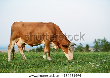 Cow is grazing in the mountains - stock photo