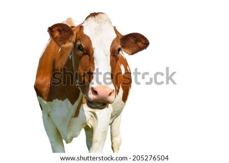 cow isolated - stock photo