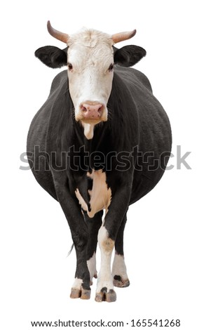 Cow isolated on white - stock photo