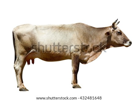 cow isolated on white