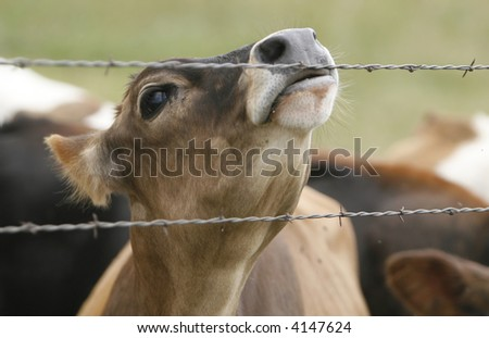 Cow licking a barbed wire fence