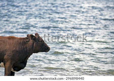 Cow looking at Little Belt in Denmark - stock photo
