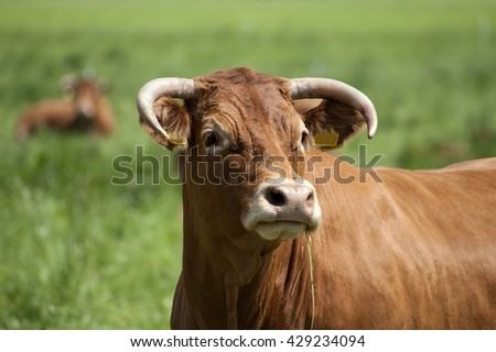 Cow -looking side - stock photo