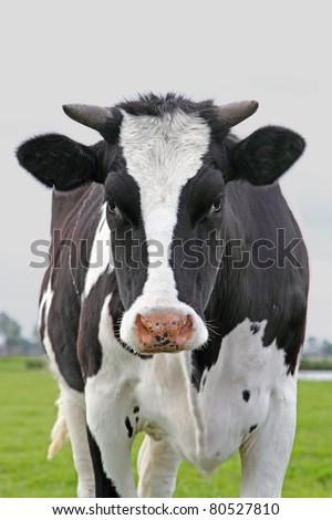 Cow looking straight in the camera - stock photo