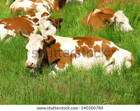 Cow lying down in the green meadow - stock photo