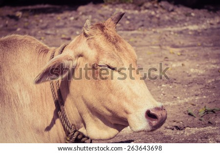 Cow lying on the ground