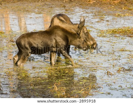 Cow moose and its calf feed in shallow water in Yellowstone National Park