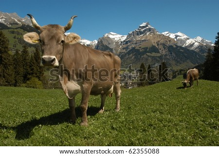 Cow on a field near Engelberg on the swiss alps - stock photo