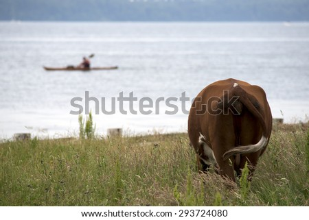 Cow on a green summer meadow. Blurred kayak on water background. - stock photo