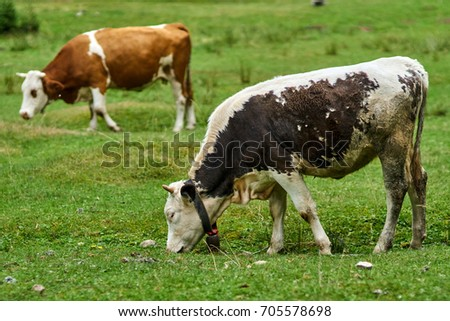 Cow on a mountain pasture in a summer day, grazing