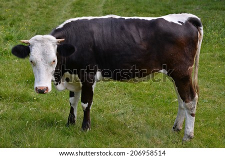 Cow on a pasture/Cow/Cow on a pasture, Carpathions, Ukraine