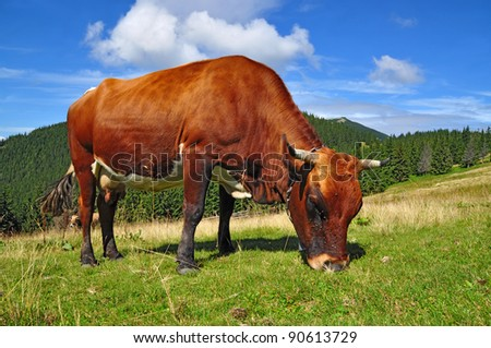 Cow on a summer mountain pasture
