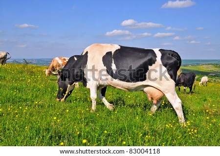 Cow on a summer pasture - stock photo