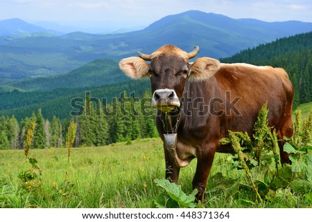 Cow on a summer pasture in the Carpathian Mountains - stock photo