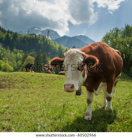 Cow on a sunny day in Neuschwanstein, Bavaria, Germany - stock photo