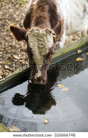 Cow on an autumn meadow drinking water of a drinking trough. Blurred background. - stock photo