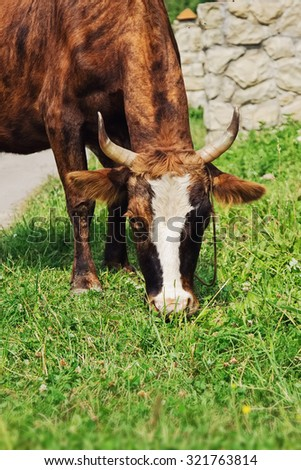 Cow on farmland in summer - stock photo
