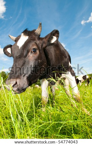 cow on field - stock photo