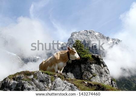 Cow on foggy mountain in Austria - stock photo