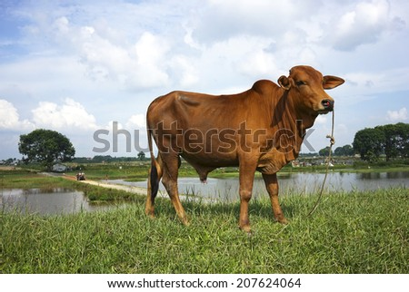Cow on green grass and blue sky with light - stock photo