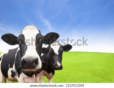 Cow on green grass field with cloud background - stock photo