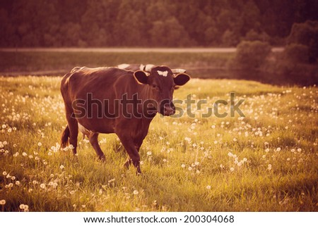 Cow on green grass with dandelions - stock photo
