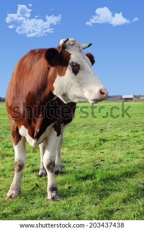 cow on meadow, country scenery with cow