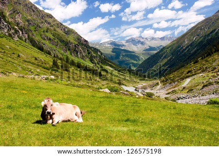 Cow on mountain pasture in the Austrian Alps - stock photo