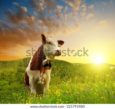 Cow on the meadow at sunset - stock photo