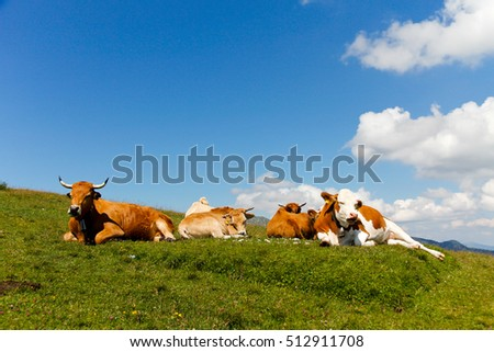 Cow on the meadow, Zugspitze, Bavaria