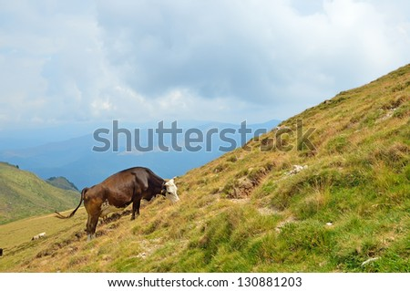 Cow on the pasture in mountains of Transylvania, Romania
