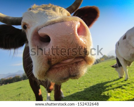cow on the pasture 20, soft focus - stock photo