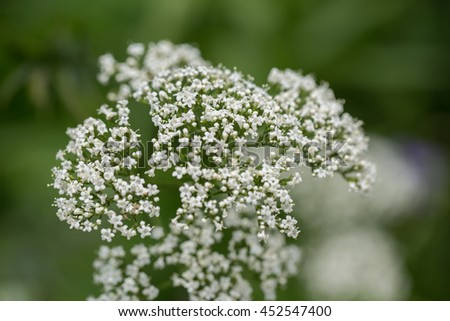 Cow Parsley (Anthriscus Sylvestris) in Garden
