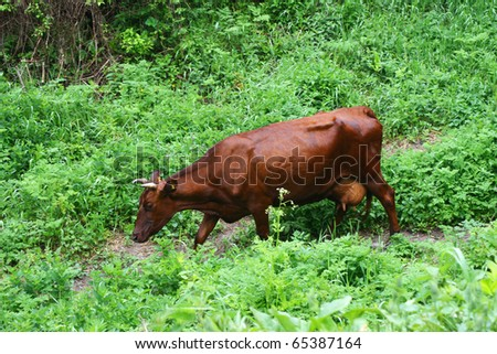 Cow pasture cattle in the green forest, (Bos taurus) - stock photo