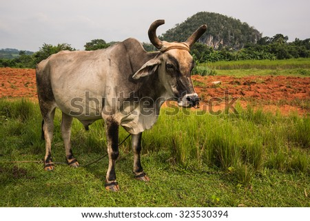 Cow pasture in Valley Vinales in Cuba. - stock photo