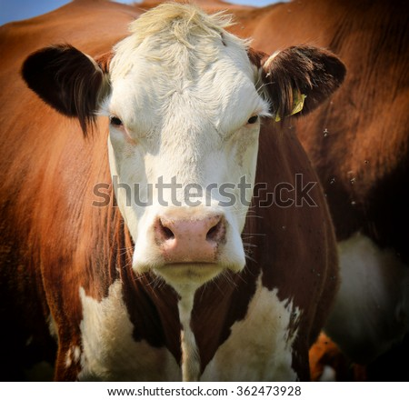 cow portrait - stock photo